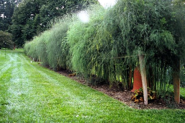 asparagus hedge