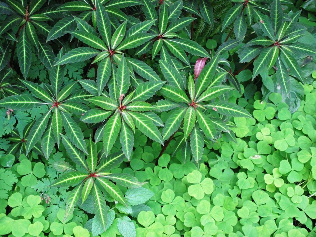 VG Begonia and Oxalis