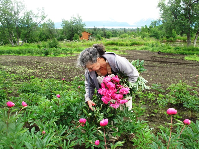 Imagine, a new economic floral industry in Alaska! Here's farmer Shelley Rainwater harvesting her beautiful peonies in Homer, Alaska.