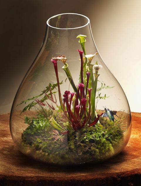 Pitcher plants (Sarracenia sp.) in a glass vessel.