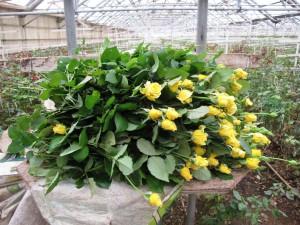 Peterkort's yellow roses.