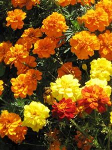 more marigolds . . .