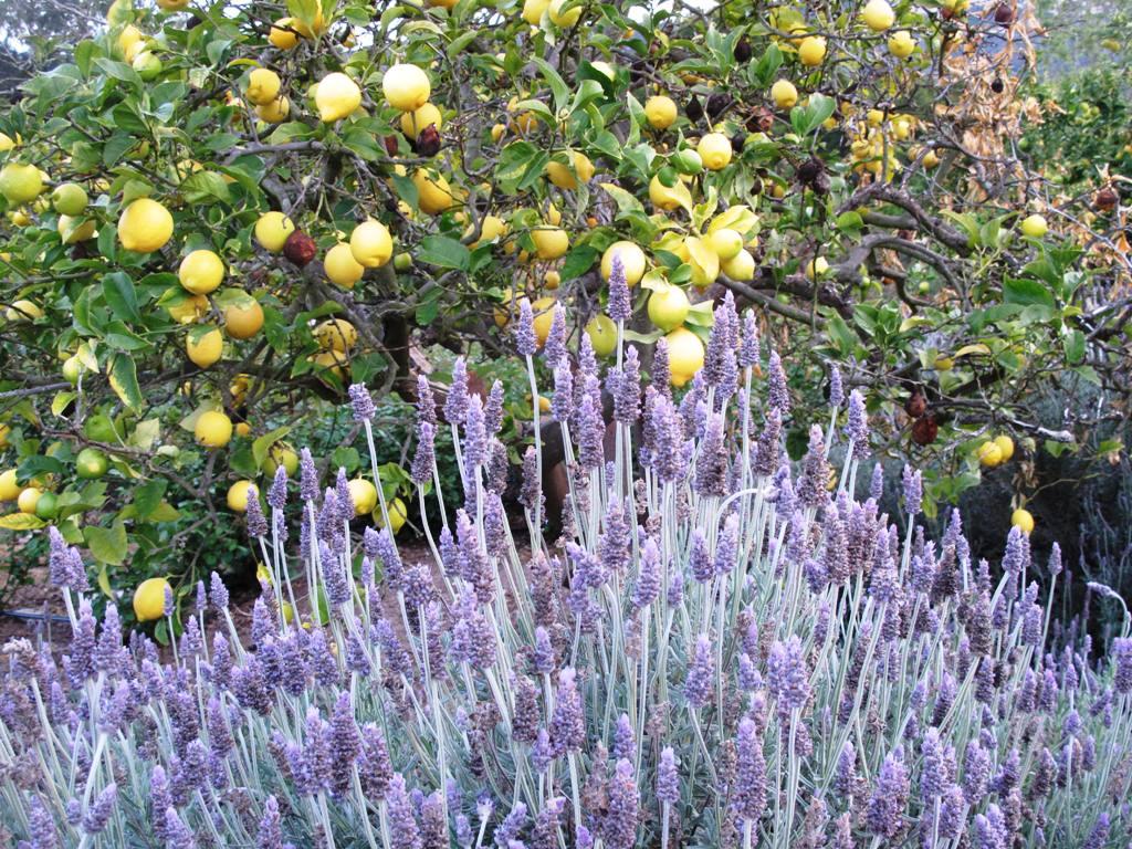 lavender_citrus_IMG_9456