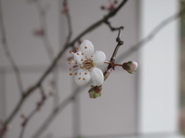 Fowering plum blossom (Prunus sp.)