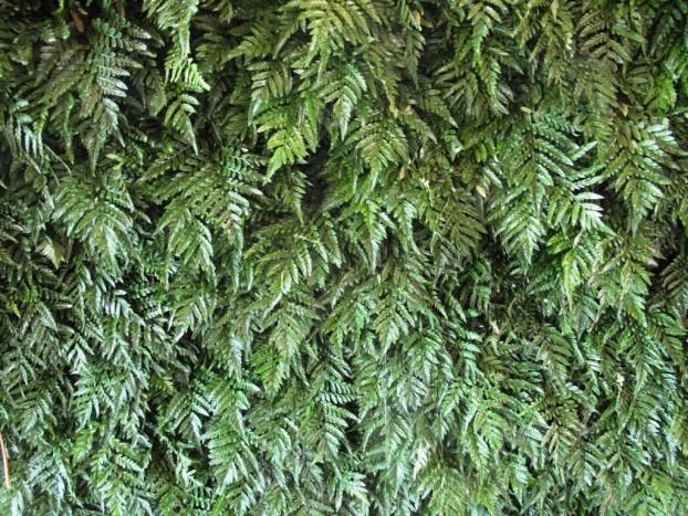 Glossy and durable -- Leatherleaf fern.