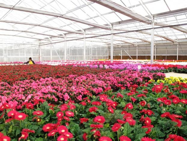 The gerbera greenhouse.