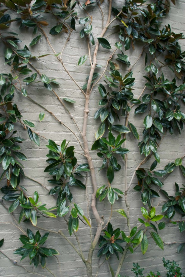 A pale-colored wall illuminates the garden where a Magnolia grandiflora tree is espaliered.