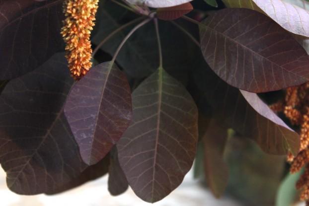 Gotta love this deep burgundy smokebush foliage!