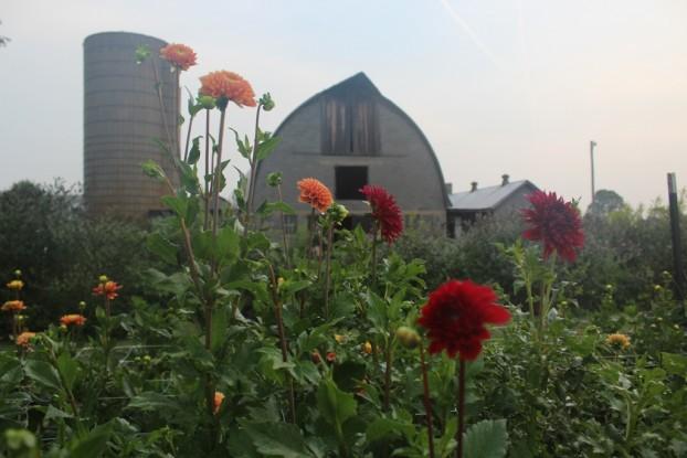 Heritage barn as backdrop to the dahlia fields at LynnVale Farm & Studios