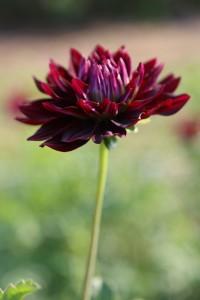 A dahlia-centric flower farm (c) Linda Blue