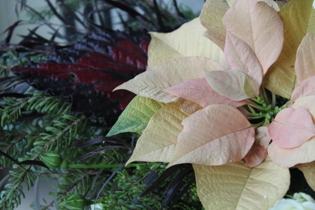 Begonia + Poinsettia!