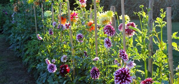 Meadowburn's famous dahlia garden.