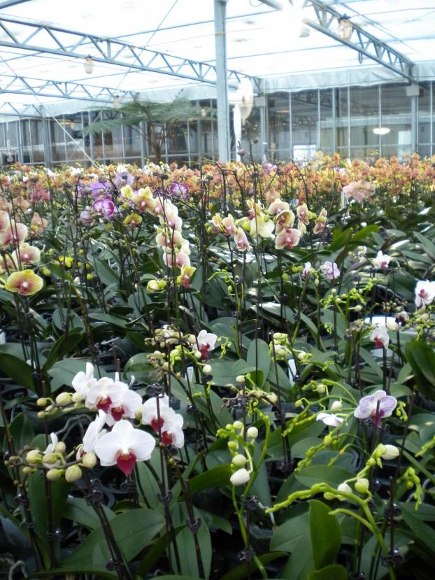 Inside the greenhouses at Orchidaceae in Walla Walla, (eastern) Washington