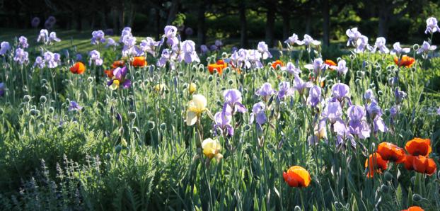 The beautiful and timeless bearded irises at Meadowburn Farm.